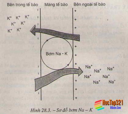 Chương II: Cảm ứng – Điện thế nghỉ – Hướng dẫn giải bài tập SGK Sinh học 11 trang 116