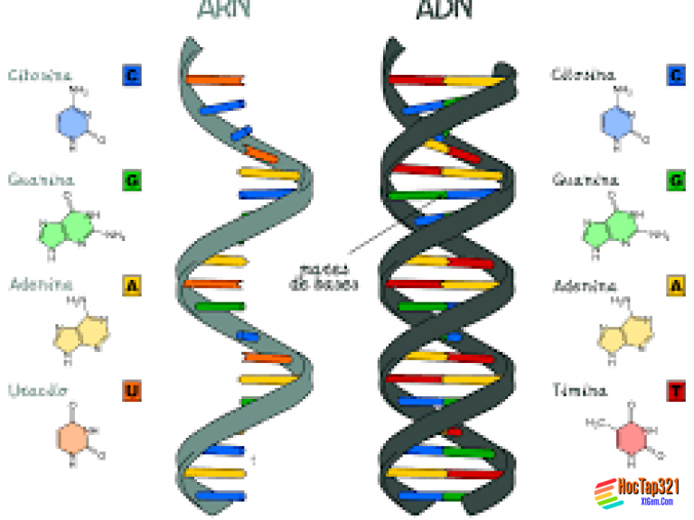 Bài 17: Mối quan hệ giữa gen và ARN
