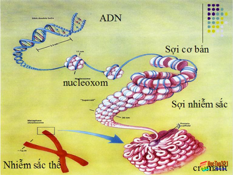 Bài 23: Đột biến số lượng nhiễm sắc thể