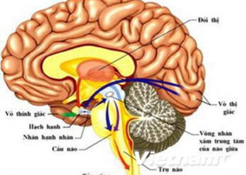Bài 47: Đại Não (Sinh Học 8)